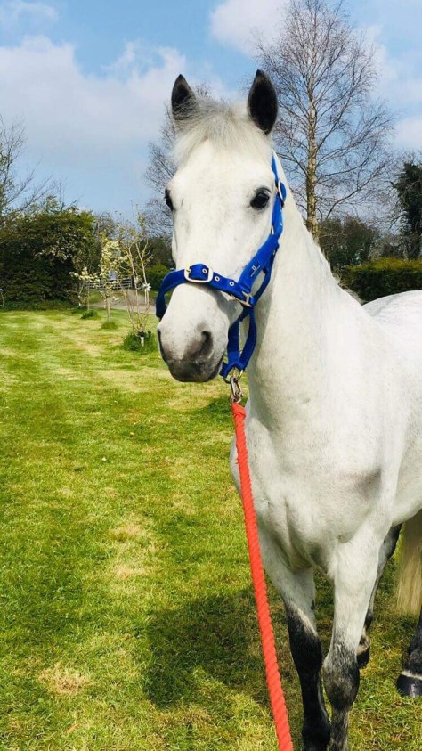Comers Elf a grey pony looking lovely in his new head collar in the garden.