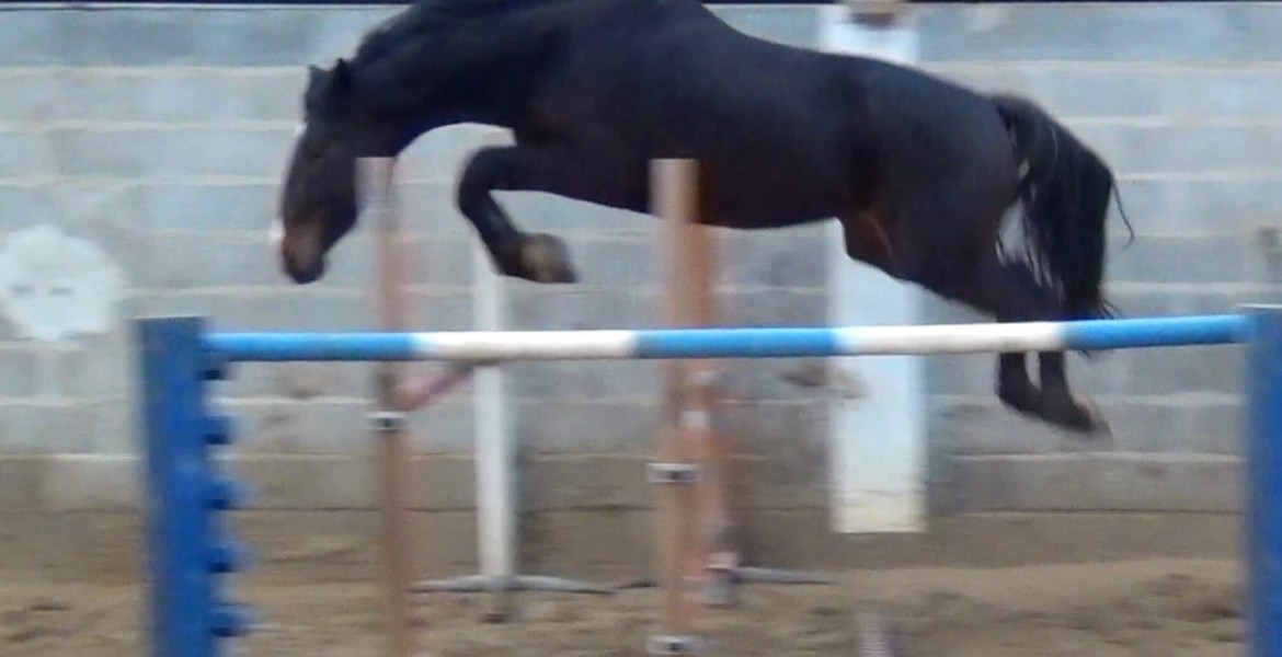 Ferdinand Gii a bay colt loosejumping over a fence