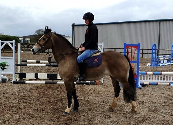 Beautiful dun cob Castledaly Sophie