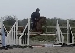 Chestnut pony gelding Foxhall red clover jumping a fence