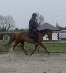 chestnut pony Foxhall Red Clover trotting