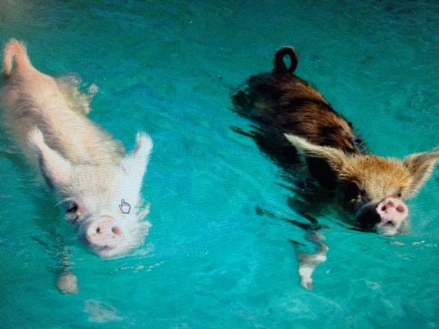 The Adorable Swimming Pigs