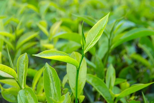 green-tea-side-effects-1