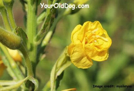how to use mullein for canines