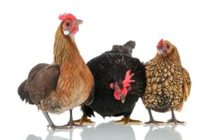 Don't Chicken Out, Holding Back in Sales, Savvy Selling