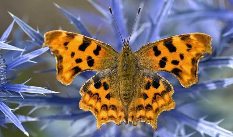 Extinction of Butterflies
