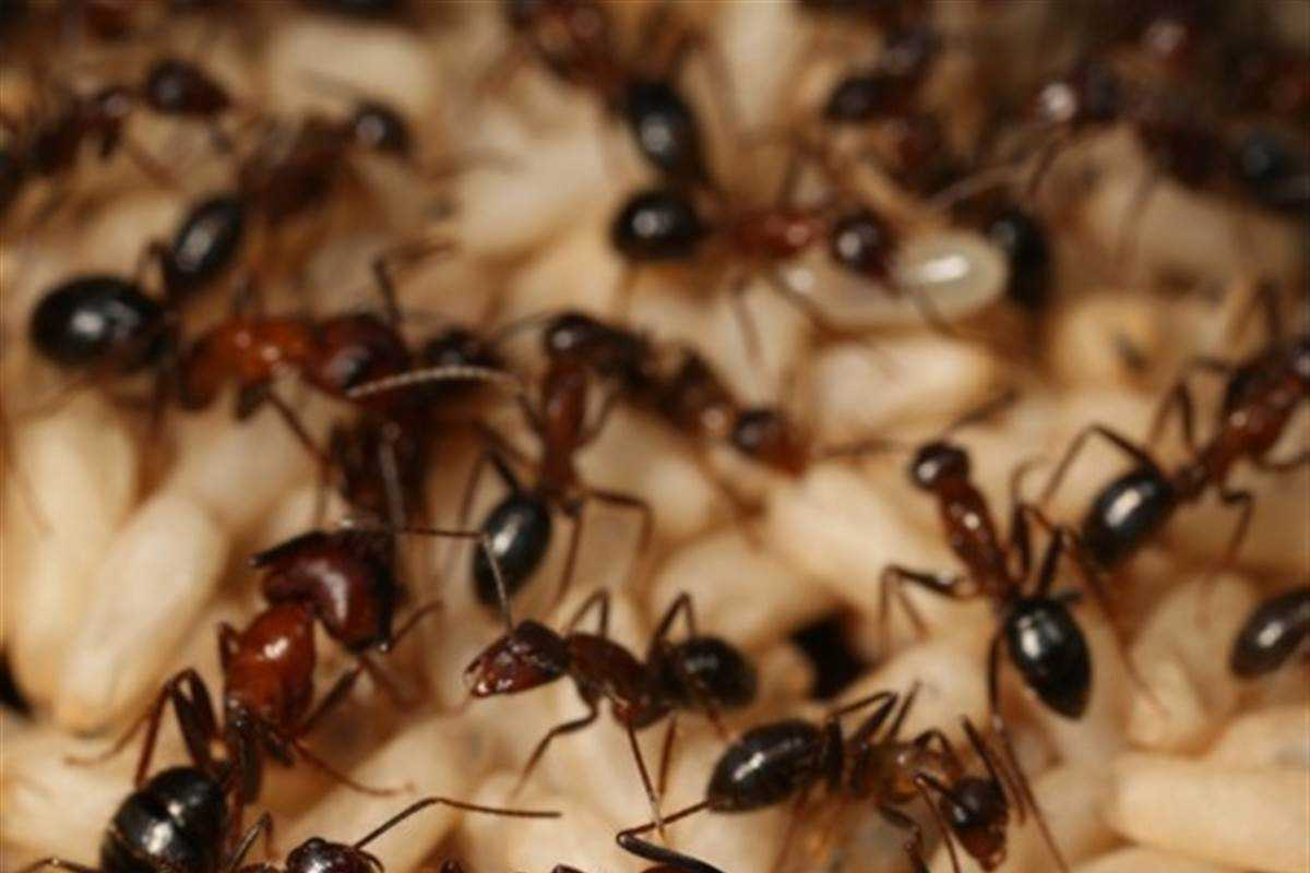 Ants Use Strong Smelling Power to Protect Their Colonies