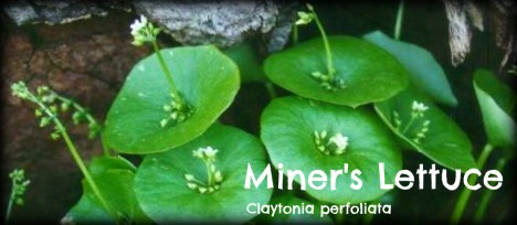Miners Lettuce