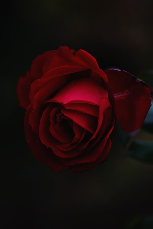 rose day wishes for girlfriend in hindi