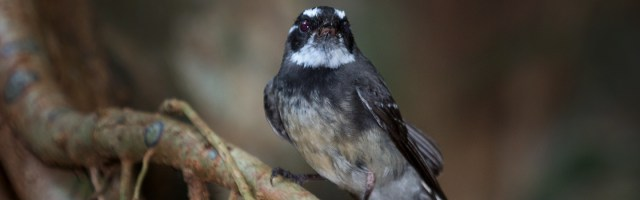 cathedral_fig_grey_fantail_2