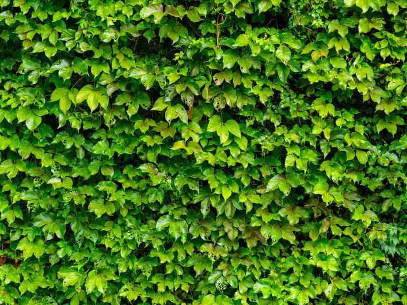 how to get rid of ivy roots, How to Get Rid of Ivy Roots-In 5 Easy Steps