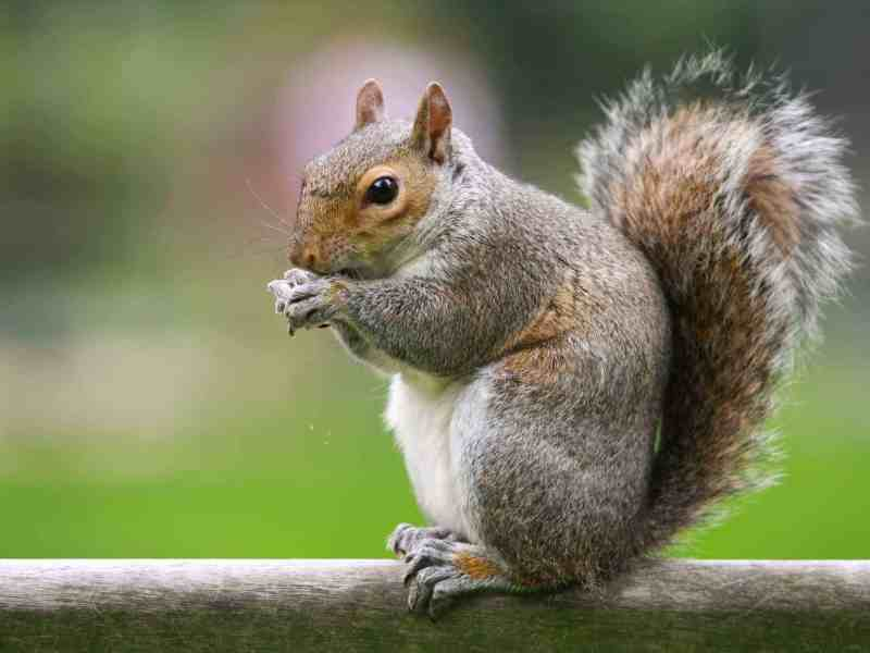 best trap for squirrels, Best Trap for Squirrels-How to Get Rid of Squirrels