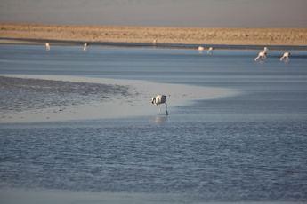 Salar de Atacama feeding flamingo