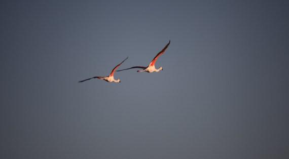 Salar de Atacama flying flamingos