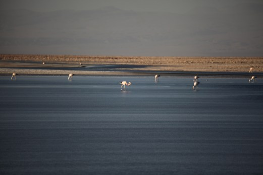 Salar de Atacama flamingos