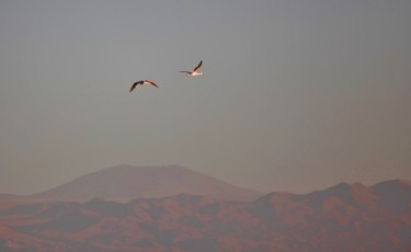Salar de Atacama flying flamingos