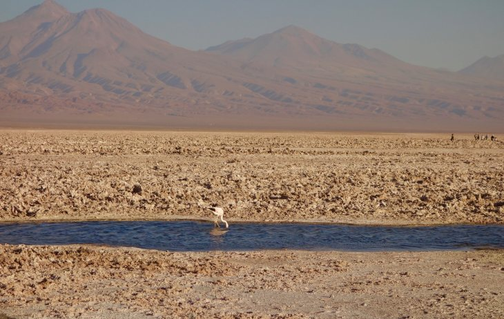 Salar de Atacama flamingo