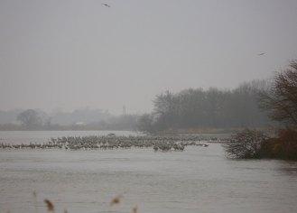 Sandhill cranes on the Platte River resting