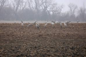 Sandhill cranes on the Platte River feeding closeup