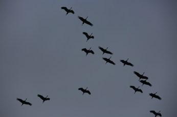 Sandhill cranes on the Platte River closeup