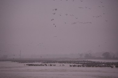 Sandhill cranes on the Platte River first light