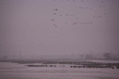 Sandhill cranes on the Platte River first light