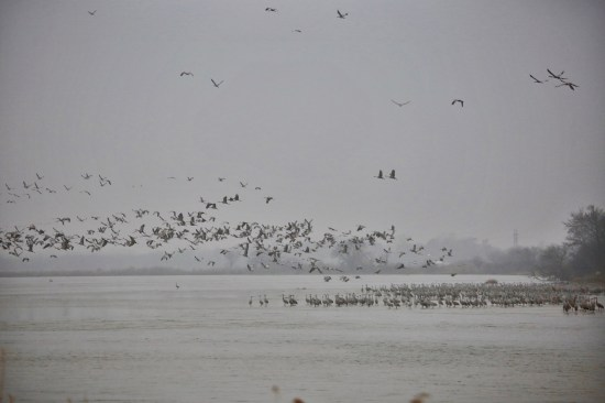 Sandhill cranes on the Platte River takeoff