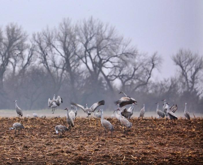 Sandhill cranes on the Platte River feeding frenzy