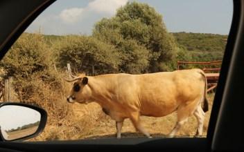Domaine de Murtoli cow