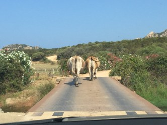 Domaine de Murtoli cows on bridge