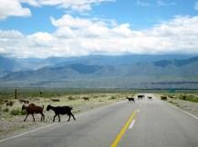 Ruta 33 Altiplano Salta goat crossing