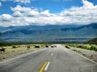 Ruta 33 Altiplano Salta goats