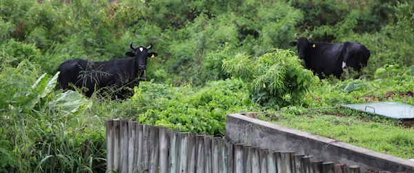 Pousada Maravilha bungalow view cows