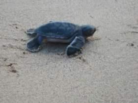 FERNANDO DE NORONHA turtles