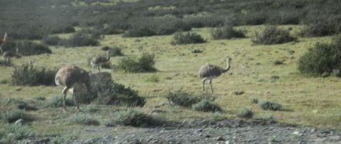 Torres del Paine National Park rhea