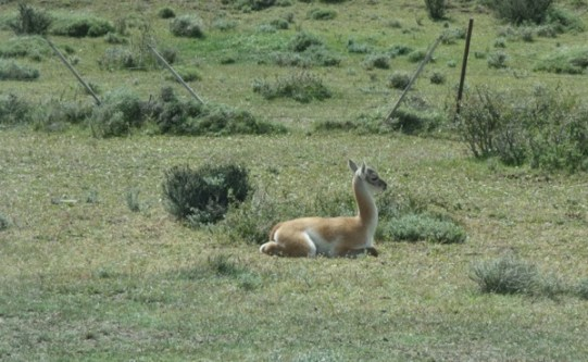 Torres del Paine National Park guanaco baby