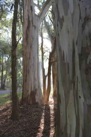 Carmelo cypress trees