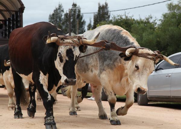 Garzon Carnivale steers