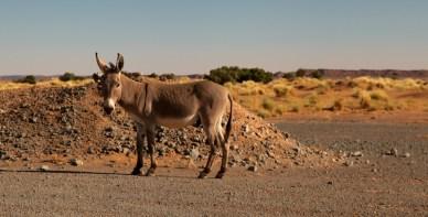 Morocco wild donkey