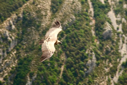 Gorge du Verdon Griffon vulture close
