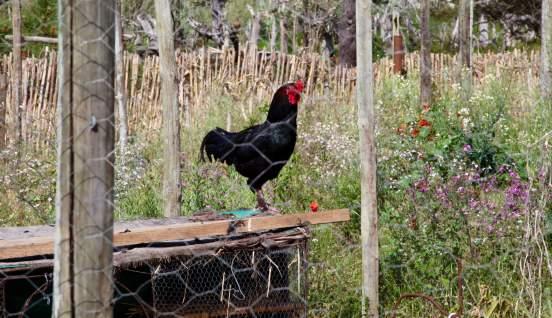 Areias do Seixo rooster