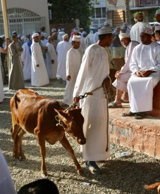 After the goats come the cattle. Same ritual, but the ring gets a lot wider as the bucking horned steers and cows made their displeasure known as they were coaxed and dragged by rope around the ring.