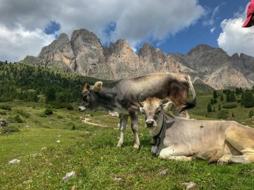 Rifugio Firenze cows