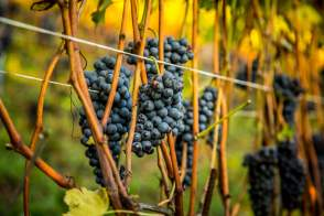Ripe Nebbiolo grapes on vine