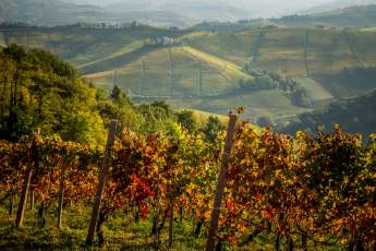 Fall vines Ginestra Barolo