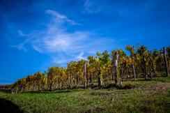 Vines in Autumn Via Ginestra Monforte
