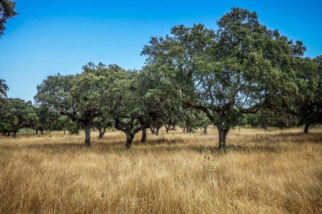 São Lourenço do Barrocal cork trees