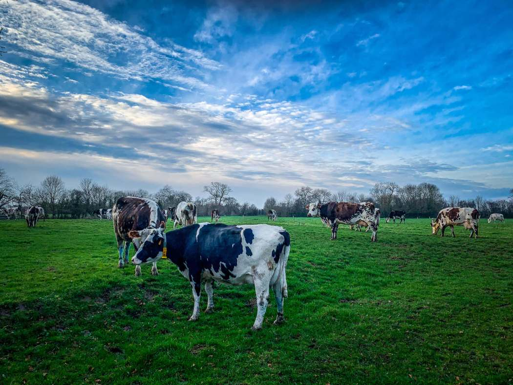 Normandie cow breed