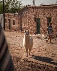llama on street Toconao