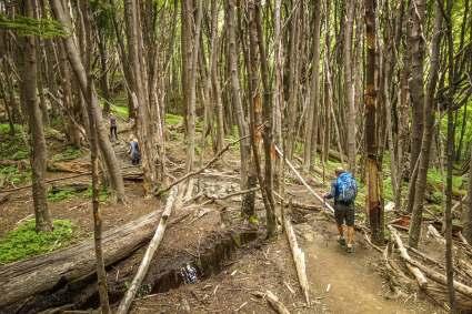 Hiking through trees Torres del Paine